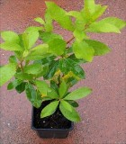 Mulberry Trees Potted