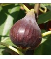 Fig - Violette de Sollies - Scion