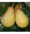 Pear - Nobili - Bare Rooted - Pyrus Rootstock