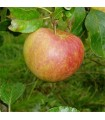 Apple - Coxs Orange Pippin - MM106 Bare Rooted