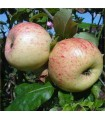 Apple - Langton Nonesuch - Potted grafted MM106 Rootstock