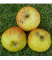 Apple - Annie Elizabeth - Potted grafted MM106 Rootstock