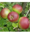 Apple - Martins Custard - Potted grafted MM106 Rootstock