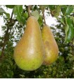 Pear - Conference - Bare Rooted Quince A