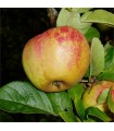 Apple - Rosemary Russet - Scion