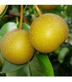 Asian Pear - Nijisseiki - Potted Semi Dwarfing