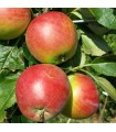 Apple 5 x mixed named - Bare Rooted semi dwarfing rootstock